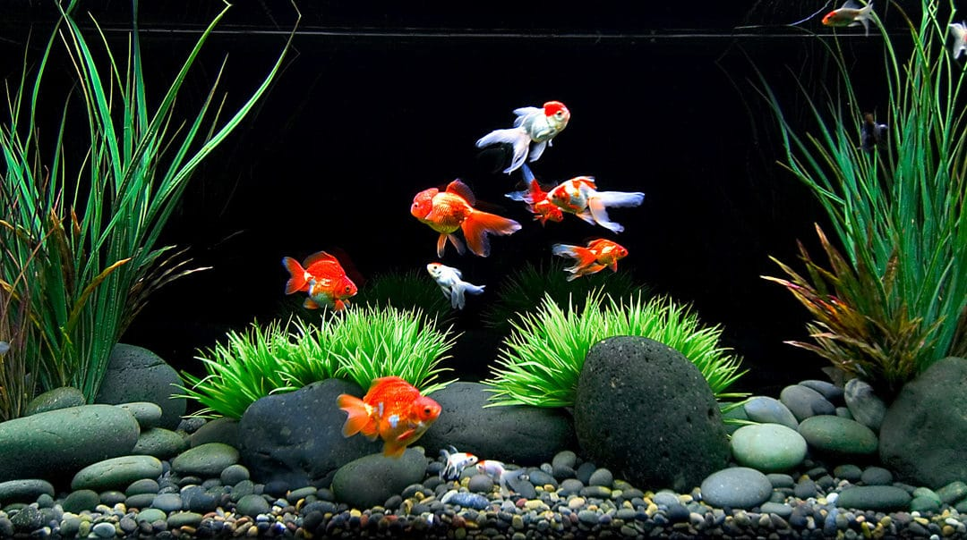 How to Care for a Goldfish: Food, Tank, Water, and Other Tips